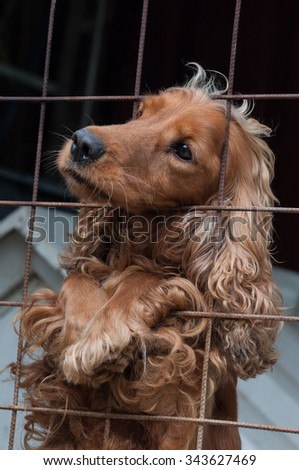 Cocker Spaniel in a cage, looking to the left - stock photo