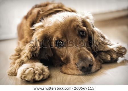 Cocker Spaniel Laying down - stock photo