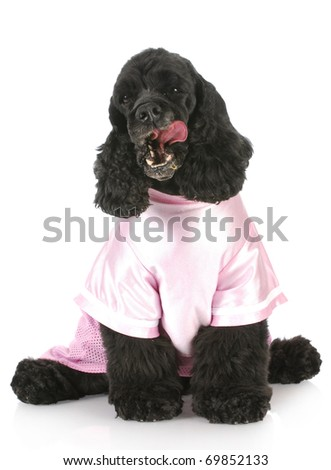 cocker spaniel licking lips wearing pink shirt with reflection on white background