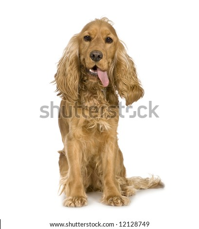 Cocker Spaniel looking worn out (14 months) in front of a white background - stock photo
