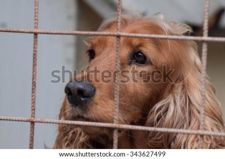 Cocker Spaniel portrait in a cage - stock photo