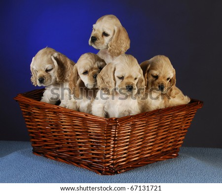 cocker spaniel puppies in a basket on blue background - stock photo