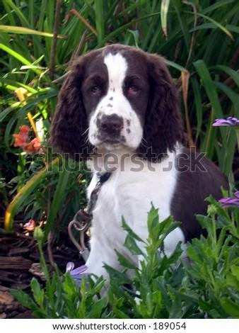 Cocker Spaniel Puppy - stock photo