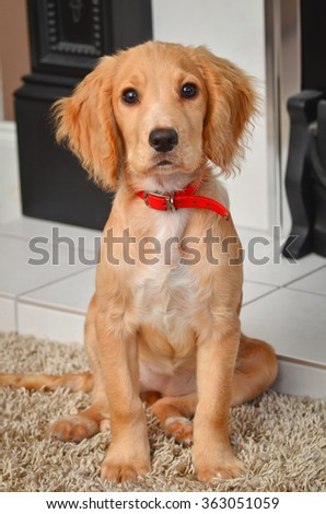 Cocker spaniel puppy by the fire. - stock photo