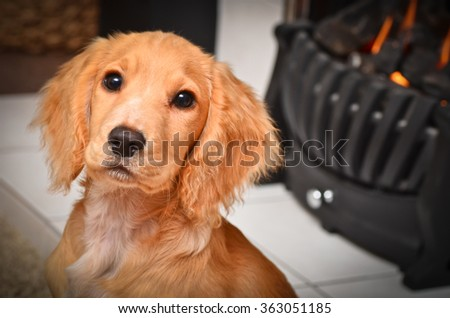 Cocker spaniel puppy by the fire keeping warm