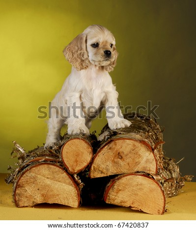 cocker spaniel puppy climbing on pile of split wood on yellow background - stock photo