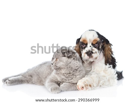Cocker Spaniel puppy embracing young kitten. isolated on white background