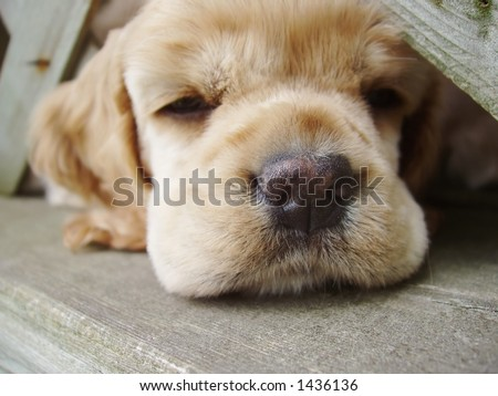 cocker spaniel puppy falling asleep with head under fence (6 week old, champion stock) - stock photo