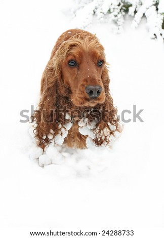 Cocker Spaniel Puppy having fun in deep Snow - stock photo