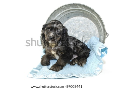 Cocker Spaniel puppy in a tub with a blue blanket on a white background. - stock photo