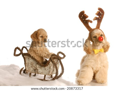 cocker spaniel puppy in sleigh with dog dressed up as rudolph beside it - stock photo