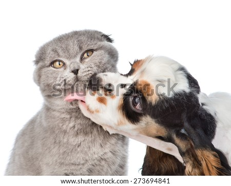 Cocker Spaniel puppy licking cat. isolated on white background - stock photo