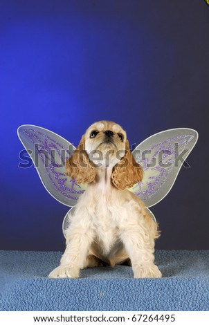 cocker spaniel puppy looking up with angel wings on blue background - stock photo