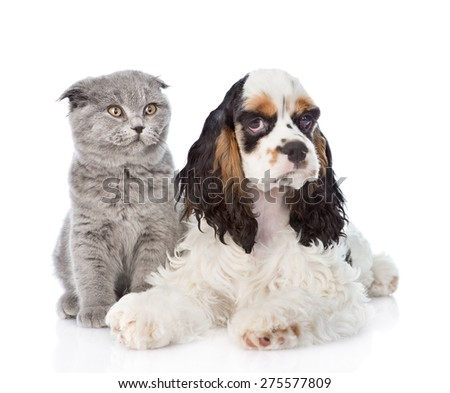 Cocker Spaniel puppy lying with young kitten. isolated on white background - stock photo