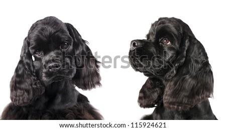 Cocker spaniel puppy , 4 mounthCocker spaniel puppy - stock photo
