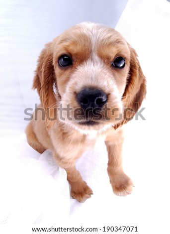 Cocker Spaniel puppy on white background