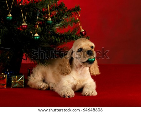 cocker spaniel puppy playing with christmas ornament under the christmas tree on red background - stock photo