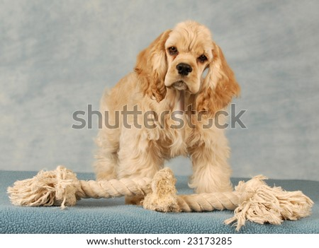 cocker spaniel puppy playing with tug rope toy - stock photo