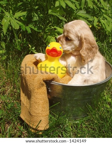cocker spaniel puppy ready for bath (6 weeks old, champion stock) - stock photo