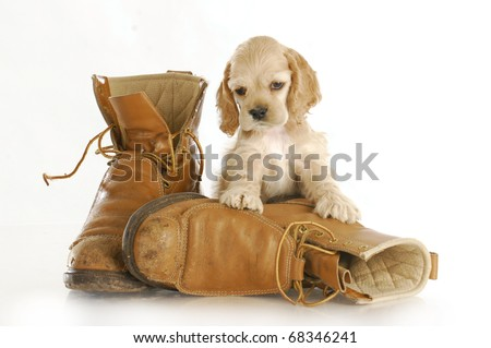 cocker spaniel puppy sitting up on pair of worn out work boots with reflection on white background - stock photo