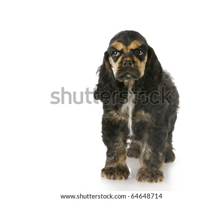 cocker spaniel puppy standing with reflection on white background - black and tan - 8 weeks old - stock photo