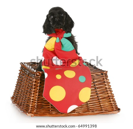 cocker spaniel puppy wearing big polka dot clown tie with reflection on white background - stock photo
