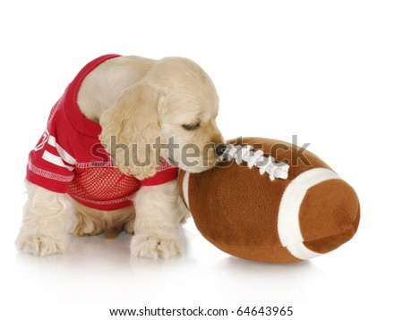 cocker spaniel puppy wearing red jersey with football on white background - stock photo