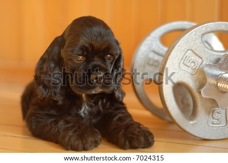 cocker spaniel puppy with work out weights