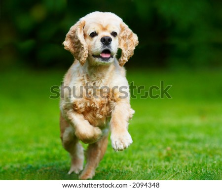 Cocker spaniel running on the grass - stock photo