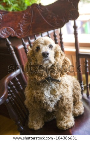 Cocker Spaniel sitting in a chair indoors - stock photo