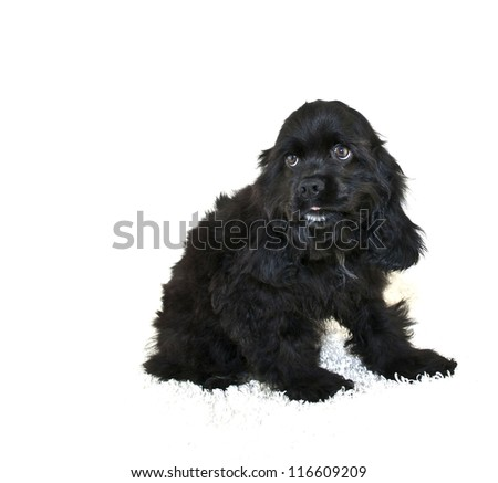Cocker Spaniel Sticking out tongue, on a white background. - stock photo
