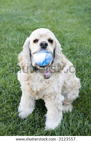 Cocker Spaniel Waiting to play Fetch