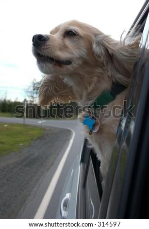 Cocker Spaniel with Head Outside the Car Window - stock photo