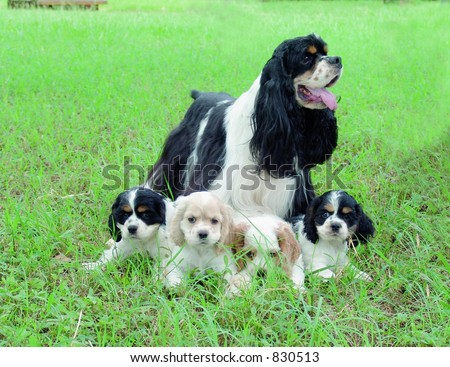 Cocker spaniel with puppies - stock photo