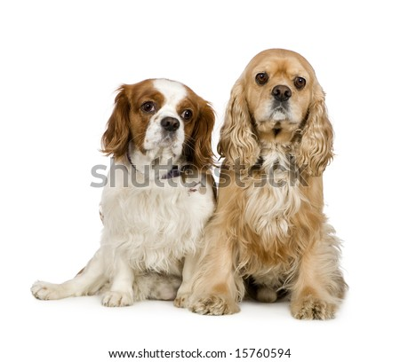 Cocker Spaniel (4 years) and a Cavalier King Charles Spaniel (4 years) in front of a white background - stock photo