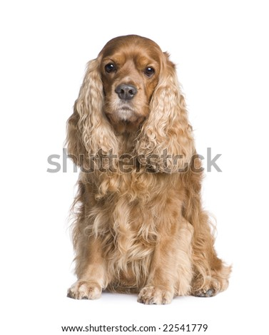 Cocker Spaniel (6 years) in front of a white background - stock photo