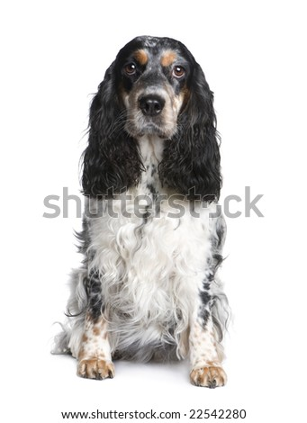 Cocker Spaniel (5years) in front of a white background - stock photo
