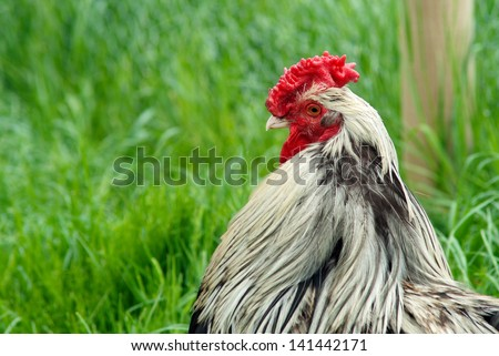 Cockerel against grass background - stock photo