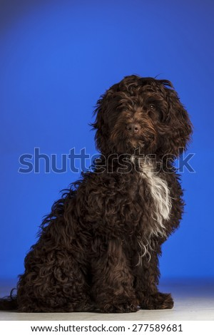 Cockerpoo dog (Spaniel and Poodle mix) - stock photo