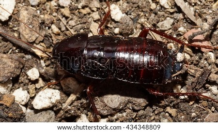 cockroach brown