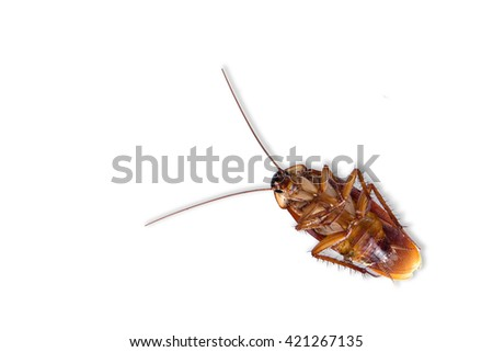 Cockroach , cockroach on white background , cockroach isolate - stock photo