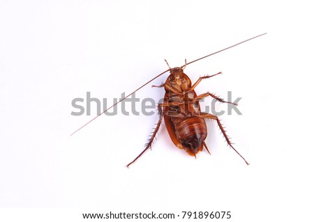 Cockroach insect isolated on white background.