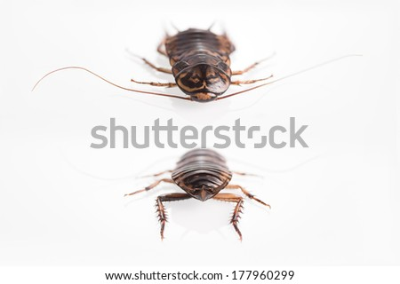 Cockroach isolate background.