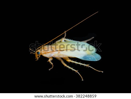 Cockroach isolated on a black background ,Albino Cockroach - stock photo