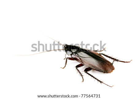 Cockroach isolated on white, body length 50mm - stock photo