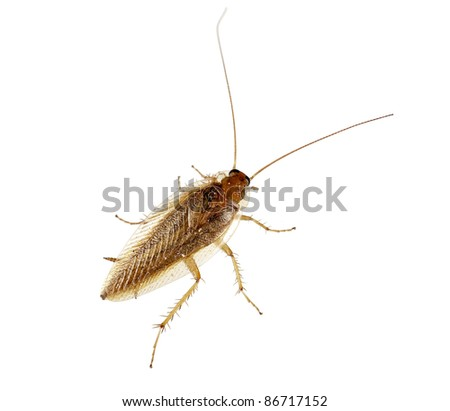 Cockroach over white background - Blatella germanica - stock photo