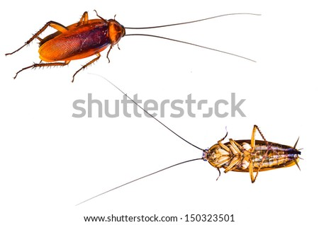 Cockroach two side - stock photo