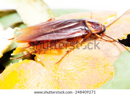 Cockroaches  , eat the orange peel - stock photo