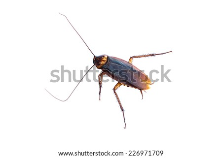 Cockroaches on white background isolated - stock photo