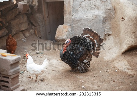 Cocks and Turkey cock in the henhouse. Horizontal photo - stock photo